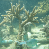 โครงการปลูกปะการัง 10,000 กิ่งสุดท้าย ณ เกาะทะลุ